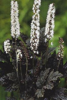 Cimicifuga Ramosa 'Hillside Black Beauty'.  This beautiful shrub has dark, coppery-purple ferny leaves.  It produces strongly fragrant wands of cream-white bottlebrush flowers.  Lovely shade plant!