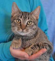 France loves shoe laces -- he must think people are so clever to wear toys on their feet!  He is a fun-loving and super cute baby boy, a brown tabby kitten, about 6 months of age, now neutered and ready for adoption at Nevada SPCA (www.nevadaspca.org).  France enjoys people and cats very much and he can spend hours engaging in play sessions.  An indoor-only, loving home where he will be showered with attention and exercise is ideal.