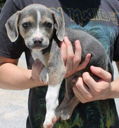 Meet Axle 20298 a Petfinder adoptable American Bulldog Dog | Prattville, AL | Axle is a 9-week-old male Bulldog/Hound mix. He is a most unusual looking puppy. Axle has an almost...