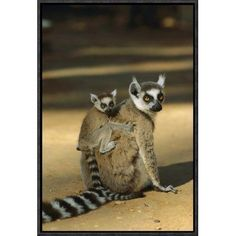 """East Urban Home 'Ring-Tailed Lemur Baby on Mother's Back' Framed Photographic Print on Canvas Size: 18"""" H x 12"""" W x 1.5"""" D"""