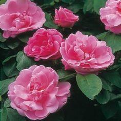 Sarah Van Fleet  porte de grandes fleurs bien parfumées, semi-doubles, légèrement en coupe, d'un rose mauve vif avec des étamines crème. C'est un grand arbuste de 2 m, au port assez érigé, au feuillage typique des rosiers rugueux. Un rosier fiable, bien remontant, très florifère et rès résistant aux maladies. Rugosa. Van Fleet, 1912.