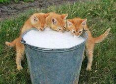 Bucketful of milk fr kitties