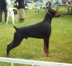 American Doberman, Doberman Tattoo, Repo Man, Doberman Pinscher, Dog Love, Dogs, Animals, Beautiful, Animales