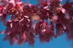 Prunus 'Okame'. Prunus, Horticulture, Flora, Fruit, Garden Planning, Plants, Peach, Lawn And Garden
