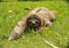 I'm coming for ya baby...  sloth | What can you learn from the mating habits of a sloth?