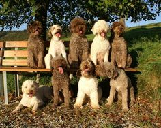 Pack of happy Lagotto Romagnolo pups.