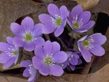 Hepatica Plants has pink, blue or white blooms. Hepatica Plants petals are sepals, and each flower can have 6 to 20 sepals. Garden Plants For Sale, Shade Garden Plants, Flowers Garden, Different Shades Of Pink, Seed Bank, Plant Sale, Types Of Soil, Small Plants, Beautiful Butterflies