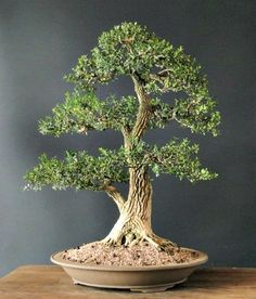 Boxwood bonsai, Buxus harlandii