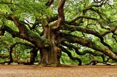 Angel Oak Tree on John's Island near Charleston SC. One of the top ten sites to visit in the area and we got to see it last week. It's amazing to see huge tree limbs growing into and up from the ground. Old Oak Tree, Old Trees, Angel Oak Trees, Tree Angel, Live Oak Trees, Johns Island, Tree Photography, Tree Forest, Forest Plants
