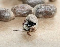 http://www.westcoastseeds.com/productdetail/Gardening-Supplies/Pollination/Mason-Bee-Cocoons/#sthash.qRVhEnQB.dpbs Have you ordered your mason bee cocoons yet? They go out in March!