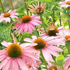 Butterfly Garden How-To.  Perennials: Ageratum, Aster, Bee-balm, Black-eyed susan, Boltonia, Butterfly bush, Butterfly weed (AR native), Chives, Coreopsis, Daylily, False Indigo, Gayfeather, Goldenrod, Hibiscus, Hollyhock, Joe-pye Weed. Annuals: Sunflowers, zinnia, cosmos... And make a small water pond.