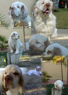 Our gang - Clumber Spaniels