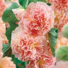 Peaches 'N Dreams Hollyhock