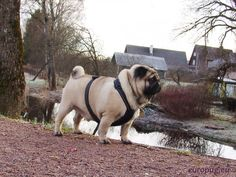 Pug on a beautiful nature / http://europug.eu/pug-beautiful-nature/