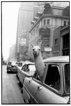 A llama in Times Square in 1957.  PHOTO: Inge Morath