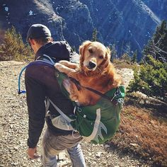 Hiking too much. My paws hurt. #getoutside #goldenretrieversofinstagram #hiking with @jaimevedres Location: Table Mountain Summit Want to get featured? FOLLOW US ON IG @hikingwithdogs_ TAG US IN YOUR VIDEOS/PHOTOS YOU'D LIKE US TO FEATURE #hikingwithdogs by hikingwithdogs_