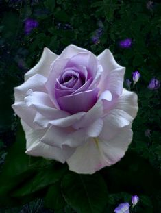 Beautiful Rose Flowers, Pretty Roses, Exotic Flowers, Beautiful Flowers, Lavender Roses, Purple Flowers, Pink Roses, Rose Flower Wallpaper, Flower Meanings