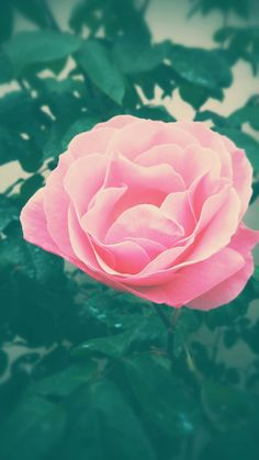 The rose Salvador Dali