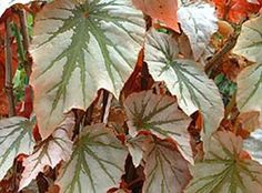 Begonia Looking Glass [hyb] - Glasshouse Works