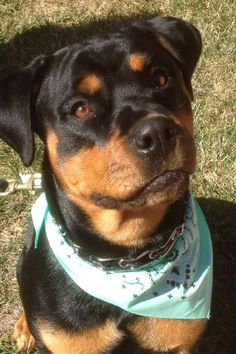 I think I look handsome! #rottweiler