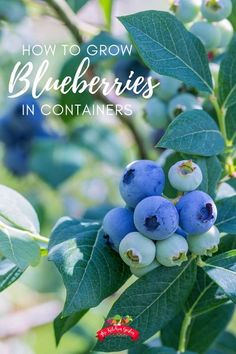 No room for blueberry bushes in your yard? Growing blueberry bushes in containers is an easy way to save space and have a great blueberry harvest. Blueberry bushes in pots are beautiful and functional. Also find out how to fertilize, plant, and care for your blueberry bushes!