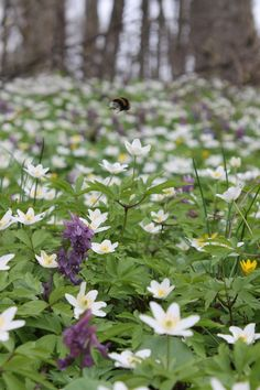 Wood anemone (anemone nemerosa).  White flowers in Spring.  Woodland flower, partial shade.  Slow to spread.  Plant tubers in autumn before they dry out.