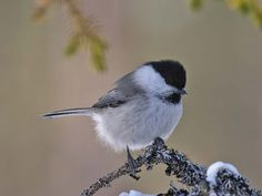 Poecile montanus, The willow tit, hömötiainen Willow Tit, Finland, Birds, Wild Animals, Flora, Google Search, Friends, Beauty, World