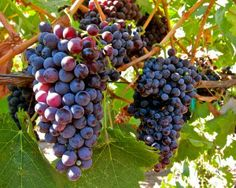 Carmine, Ripken Vineyards, Lodi AVA. Photography by Randy Caparoso. #Lodi #wine