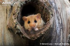 Common dormouse adult standing at nest entrance