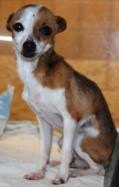 Chihuahua Chihuahua • Adult • Male • Small San Angelo Animal Shelter San Angelo, TX