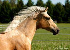 Palomino Paso Fino Gelding Horse from Fina Vista Farm - Viggo de FinaVista