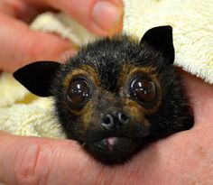 Funny Face lives in her forever home at the Tolga Bat Hospital. She is special. She was born with a cleft lip and palate and her face is asymmetrical but she manages quite well in care.