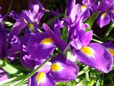 Dutch Irises just opened :)