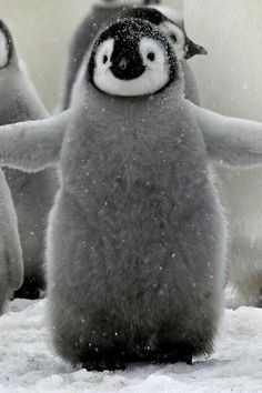 fluffy baby penguin!