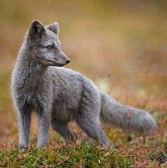 Arctic Fox by Radomir Jakubowski