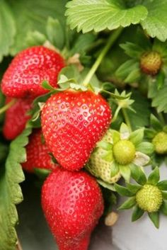 Common red strawberry plant