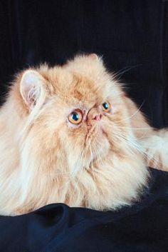 Your long-coated Persian cat is gorgeous and he knows it. However, his beauty might come at a price, especially if he is exceptionally flat-faced. Persian cats often suffer from brachycephalic airway syndrome because of the shape of their heads.