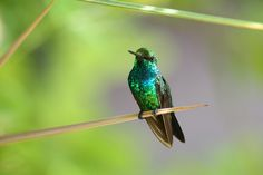 blue-tailed emerald  (photo by bantoid)