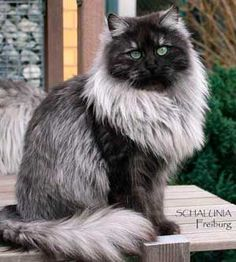 Black Smoke color - Siberian cat.. I need this cat in my life