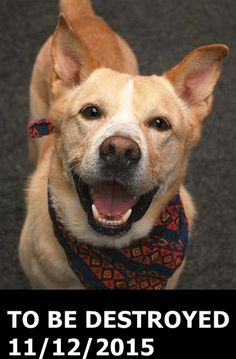 GONE 11-12-2015 --- Manhattan Center My name is BLAZE. My Animal ID # is A1057357. I am a male tan and white akita and pit bull mix. The shelter thinks I am about 5 YEARS old. I came in the shelter as a OWNER SUR on 11/09/2015 from NY 10465, owner surrender reason stated was NO TIME. http://nycdogs.urgentpodr.org/blaze-a1057357/