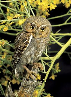 Elf Owl (Micrathene whitneyi) -  one of the world's lightest owls with a  mean body weight of 40 grams (1.4 oz). These tiny owls are 12.5 to 14.5 cm (4.7-5.5 in) long and have a wingspan of about 27 cm (10.6 in)