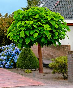 Catalpa Tree: Spectacular! Huge Heart shaped leaves, with an orchid like flower in July. Huge draw for hummingbirds and keeps away flies and mosquitoes.