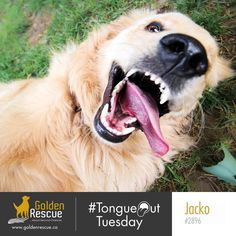 Happy #TongueOutTuesday from Jacko #2896! #goldenretriever #rescuedog #adoptdontshop