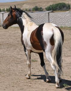 Sooty Bay Tobiano Mustang, some thought he was Chimeric but it's the sooty color change. By SceneMyEmo on deviantART