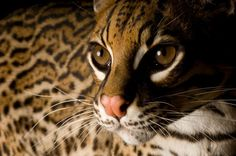 "the endangered Ocelot ""Portrait of an (endangered) ocelot (Leopardis pardalis), a secretive species that is down to just a handful in the United States. Its population in Central and South America remains unknown. #JoelSartore/TreeHugger/ADiscoveryCompany"