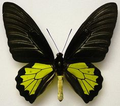 TROIDES MINOS - male  (loc.: Cotigao, India)  (coll and photo: © Mike J. Howlett, UK)