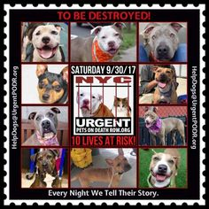TO BE DESTROYED 09/30/17 - - Info   To rescue a Death Row Dog, Please read this:http://information.urgentpodr.org/adoption-info-and-list-of-rescues/   To view the full album, please click here: http://nycdogs.urgentpodr.org/tbd-dogs-page/ -  Click for info & Current Status: http://nycdogs.urgentpodr.org/to-be-destroyed-4915/