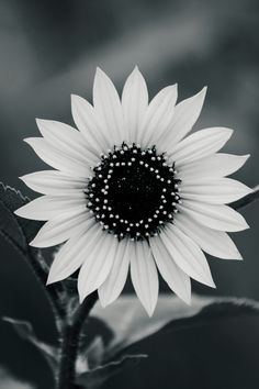 10 Best White Sunflowers Images White Sunflower Sunflowers White