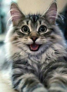 Cute Baby Cats, Cute Cats And Kittens, I Love Cats, Crazy Cats, Kittens Cutest, Ragdoll Kittens, Tabby Cats, Funny Kittens, Bengal Cats