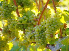 Pinot Grigio / Pinot Gris Grapes